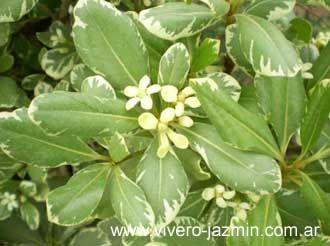 Arbustos perennes el azarero azarero arbustos - Arbustos perennes para jardin ...