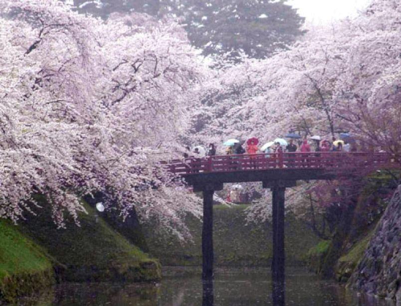 Cherry Blossom Festival Japan 2015 Google Search Japan Cherry Blossom Festival Cherry Blossom Japan Cherry Blossom Festival