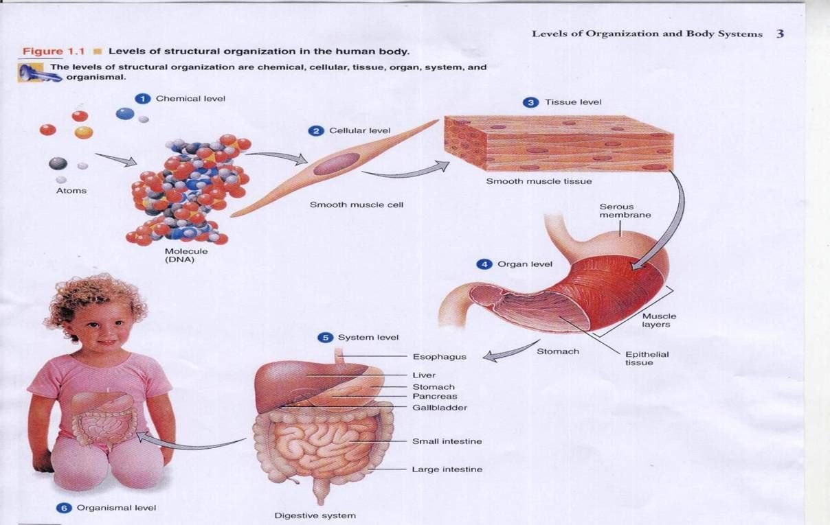 The organization of cells, tissues, organs, and organ systems ...