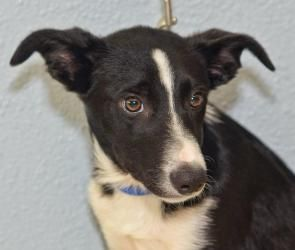 Adopt Maverick On Dogs Rescue Dogs Border Collie