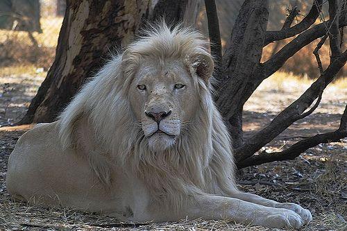 Letsatsi The White Lion Endangered Cat Species Melanistic Lion Melanistic Animals