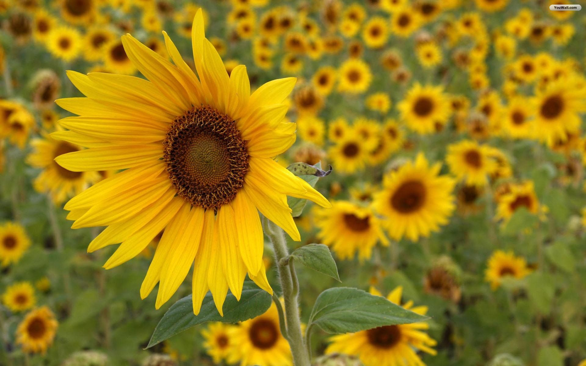 Beautiful sunflower wallpaper amazing website flower pictures for