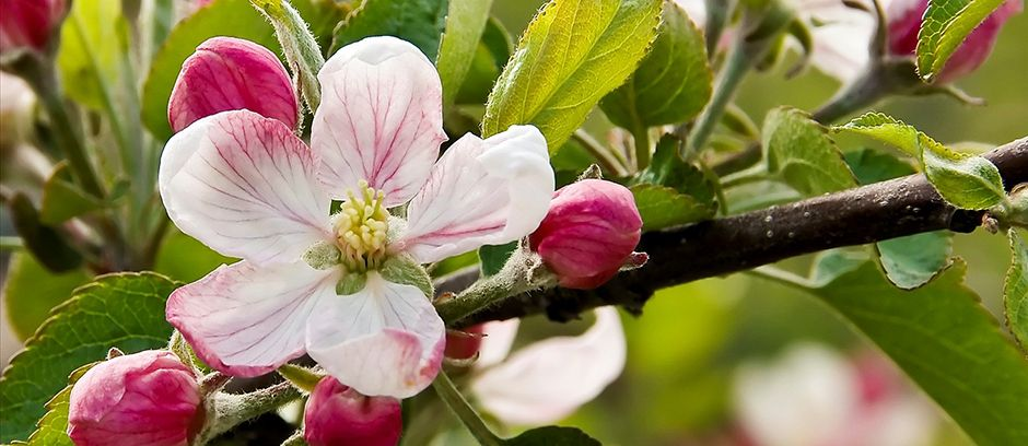 82nd annual annapolis valley apple blossom festival