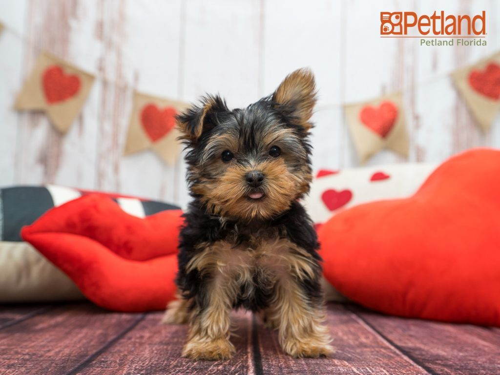 Puppies For Sale Cute Dog Wallpaper Yorkshire Terrier Puppies