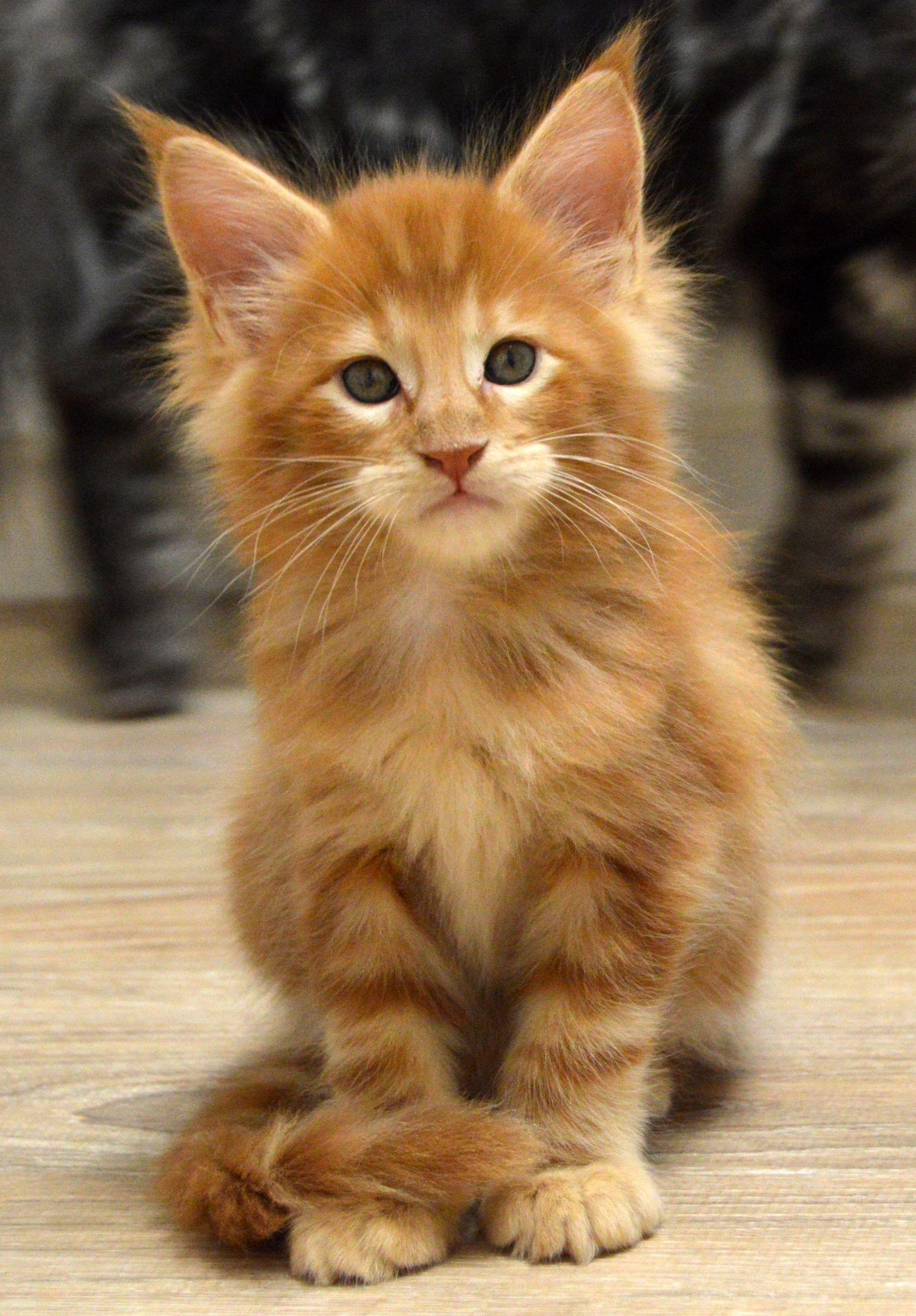 Котенок мейн кун Montaro Darsy Angora cats, Turkish