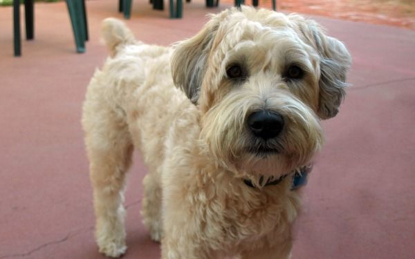 Wheaten Terrier Haircut Styles