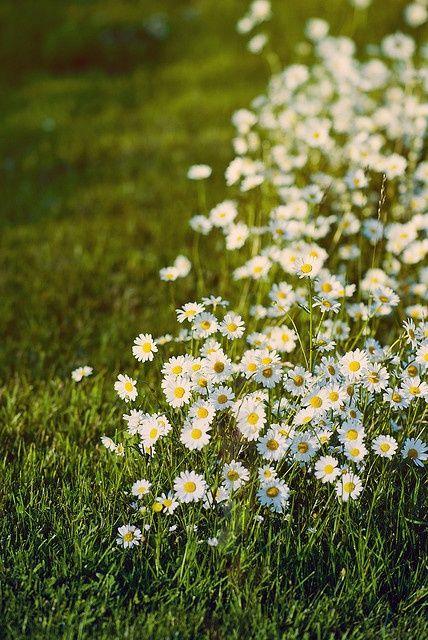 Mowed Around Natur Sommergarten Und Ganseblumchen