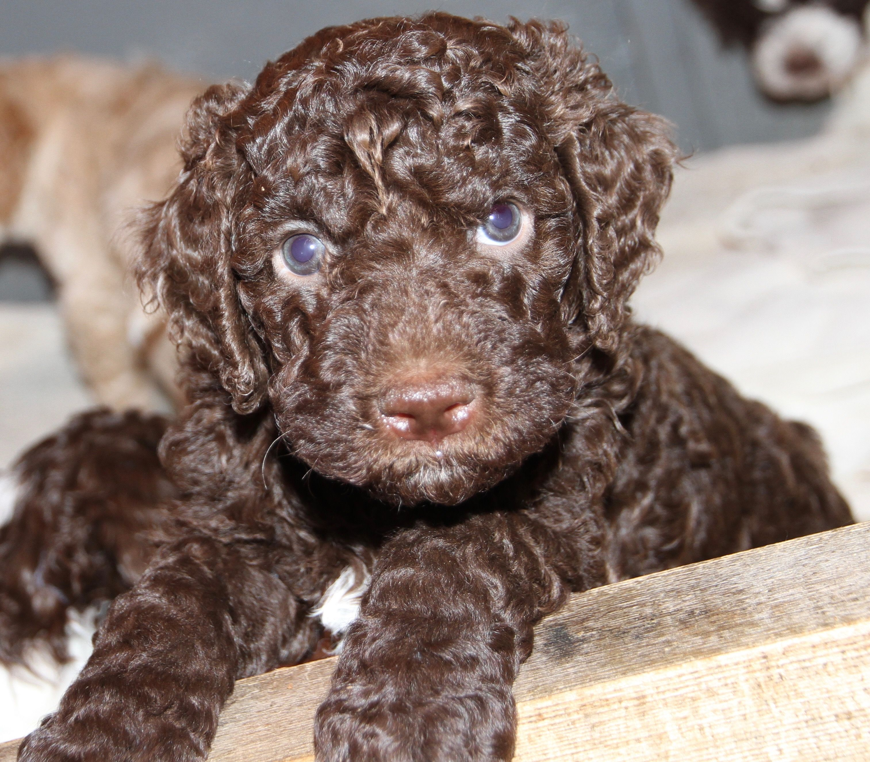 Please Contact Lagottodistinguished Gmail Com For Your Puppy Application Dog Breeder Lagotto Romagnolo Puppy Dogs