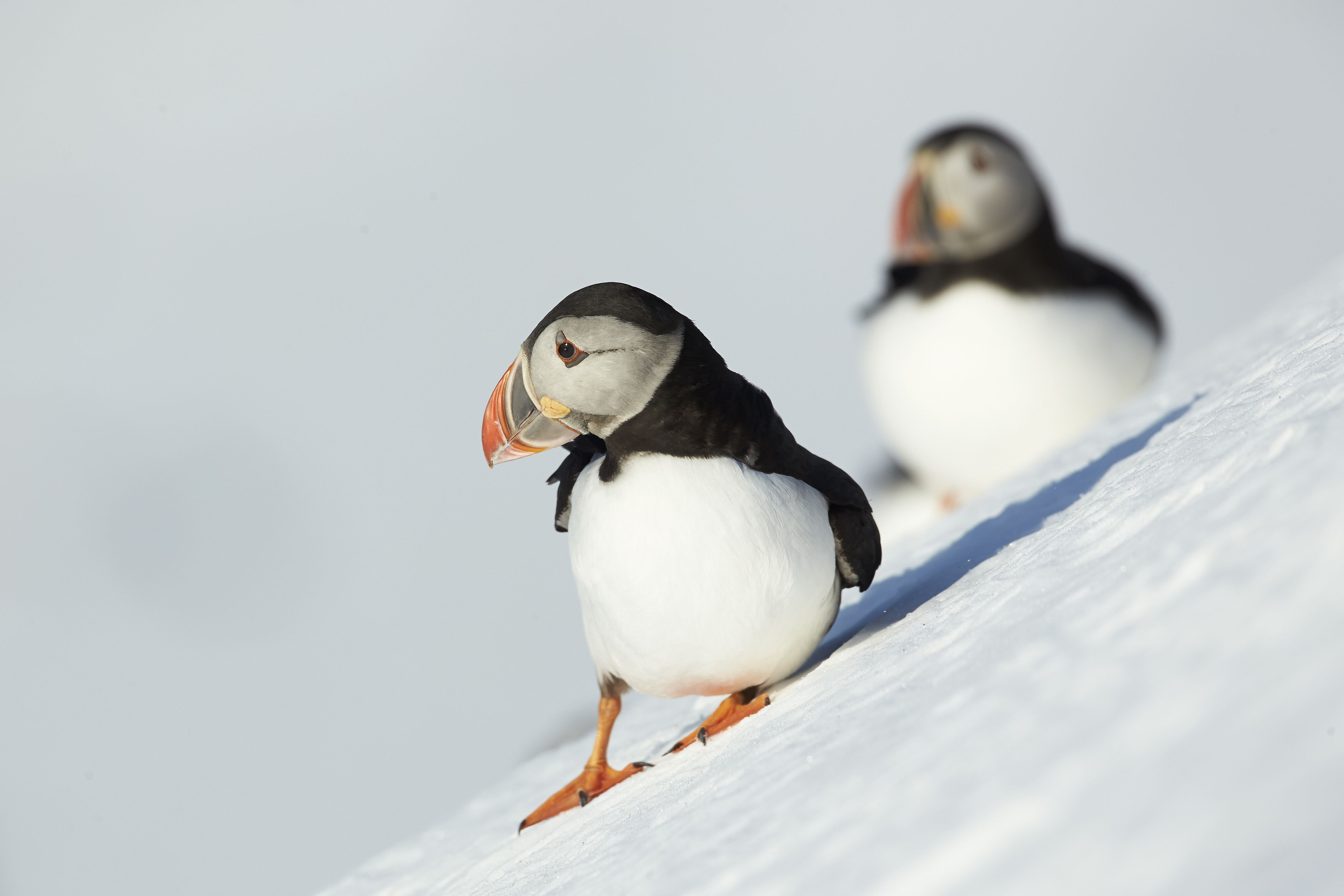 to download or set this free atlantic puffins birds couple close