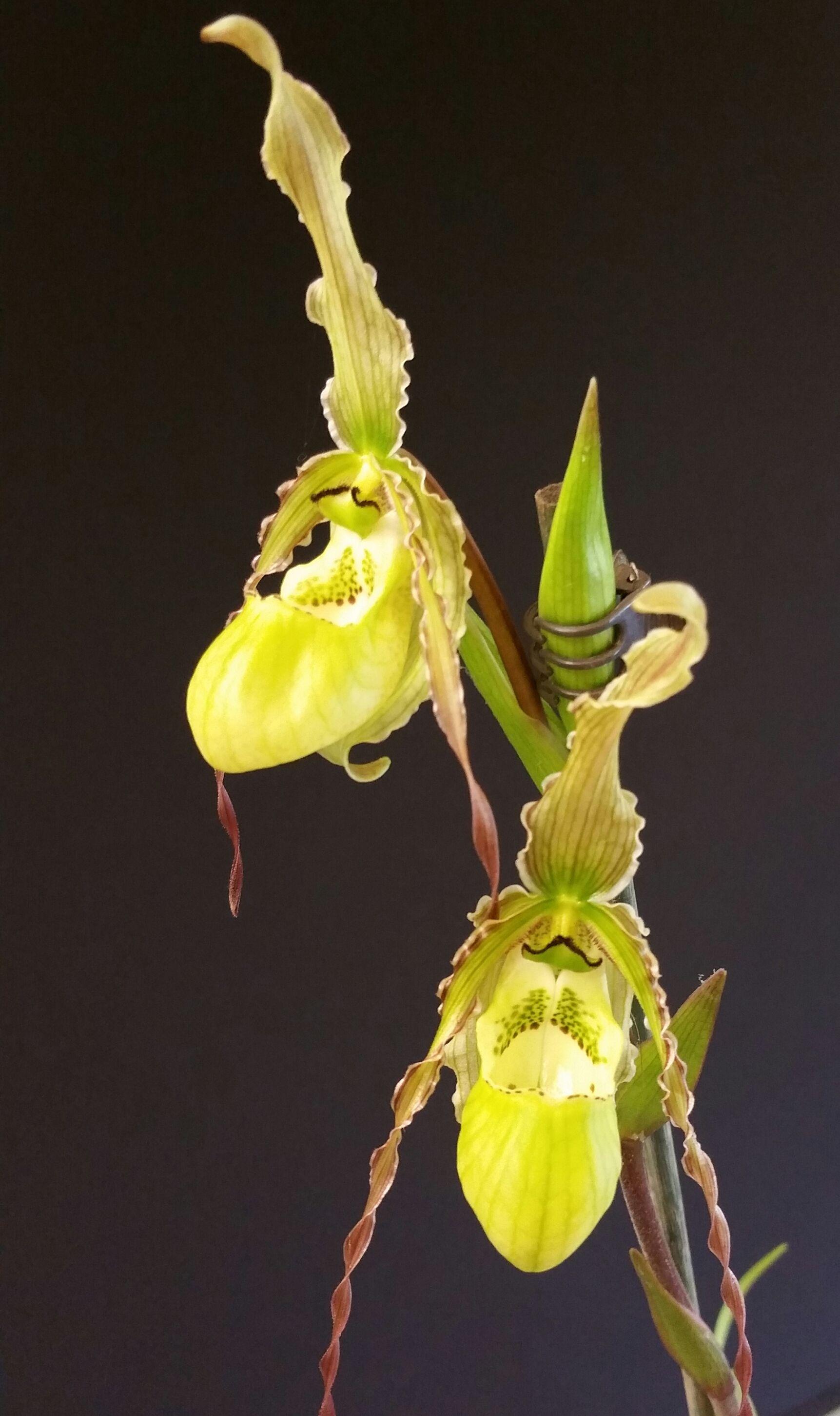 Phragmipedium Tara's (Phag. pearcei'Jenna' X boissierianum'Maybrook')