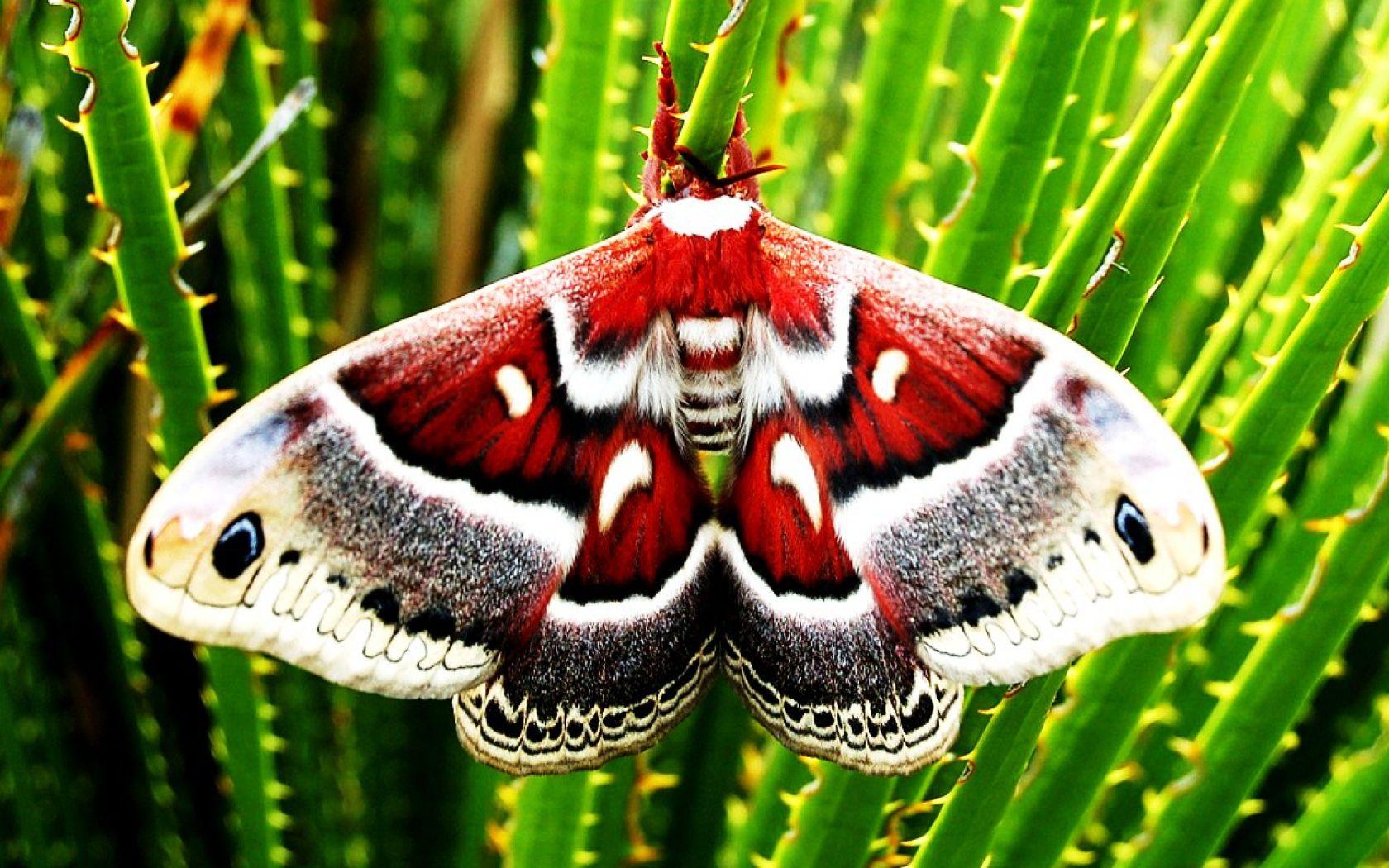 Columbia Moth In Texas. Silkworm moth, Cecropia moth