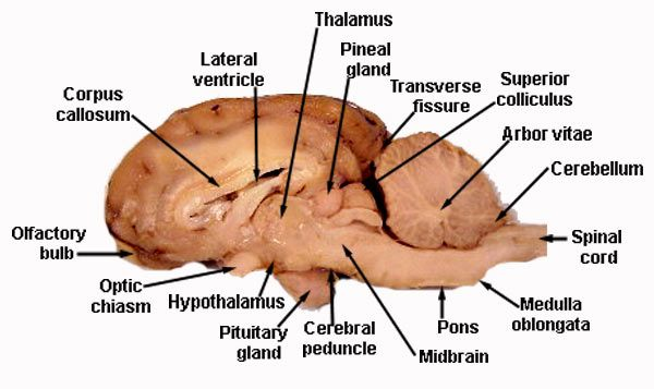 Centralnervoussystemlabeledmodels Meninges Dura And Pia Mater
