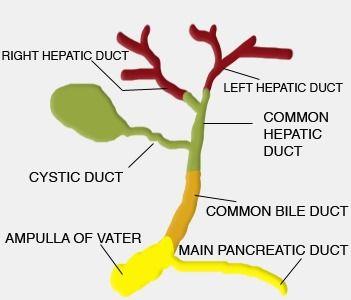 Intrahepatic Ducts Vs Extrahepatic Ducts Us Gallbladder