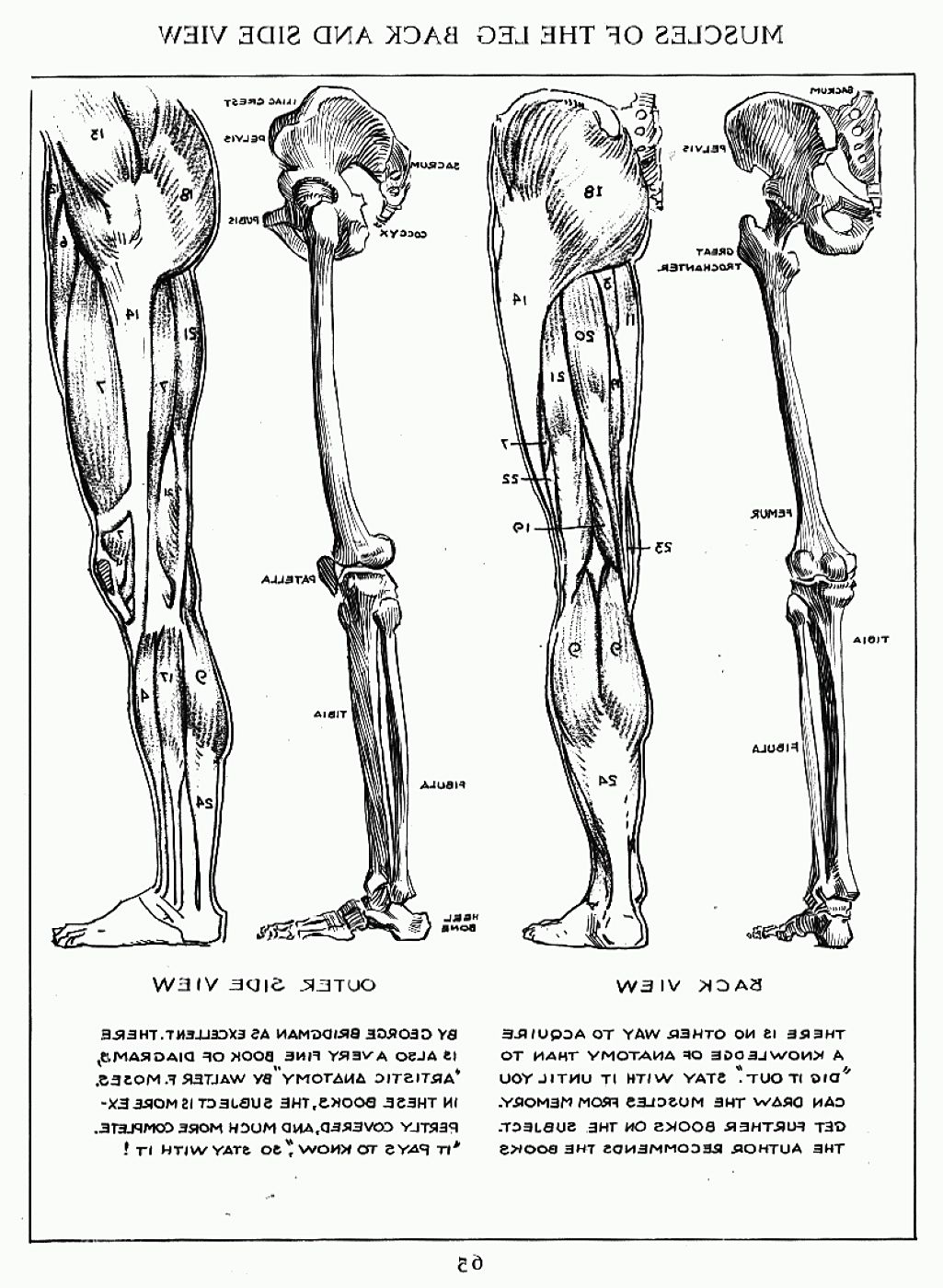 Andrew Loomis Muscles Of The Left Leg Side Back Anatomy In 2018