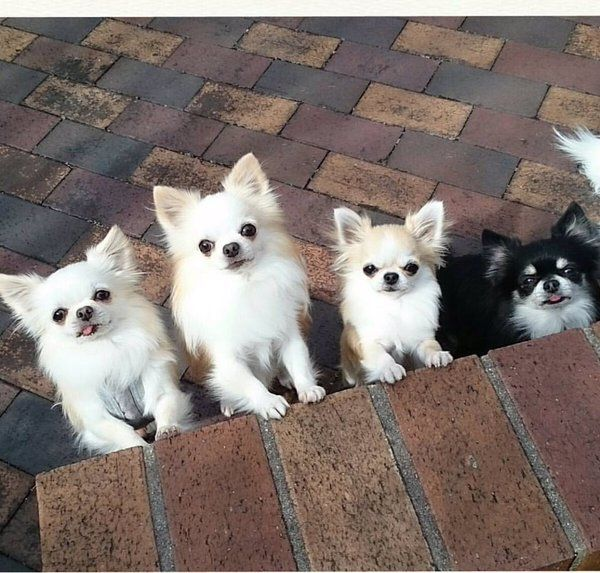 White chihuahuas and one black one.