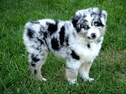 Image Result For Standard Auss Tzu Australian Shepherd Puppies Shepherd Puppies Aussie Dogs