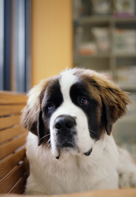 Don't care how big they get, I will have a St. Bernard one day. Too bad my mom says I can't have one. THEY ARE ADORABLE!!! :)