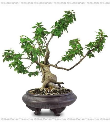 Bougainvillea Bonsai Unique Miniature Tree Flower Plant | eBay