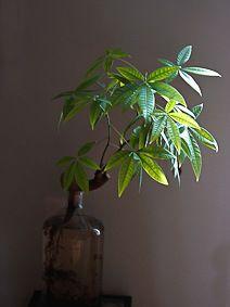 pachira aquatica une plante verte poussant dans l 39 eau et tr s facile de culture bouteille en. Black Bedroom Furniture Sets. Home Design Ideas