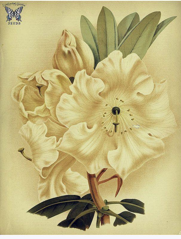 Rhododendron griffithianum. The garden. Vol. 20- (1881) Swallowtail Garden Seeds. https://www.flickr.com/photos/swallowtailgardenseeds/