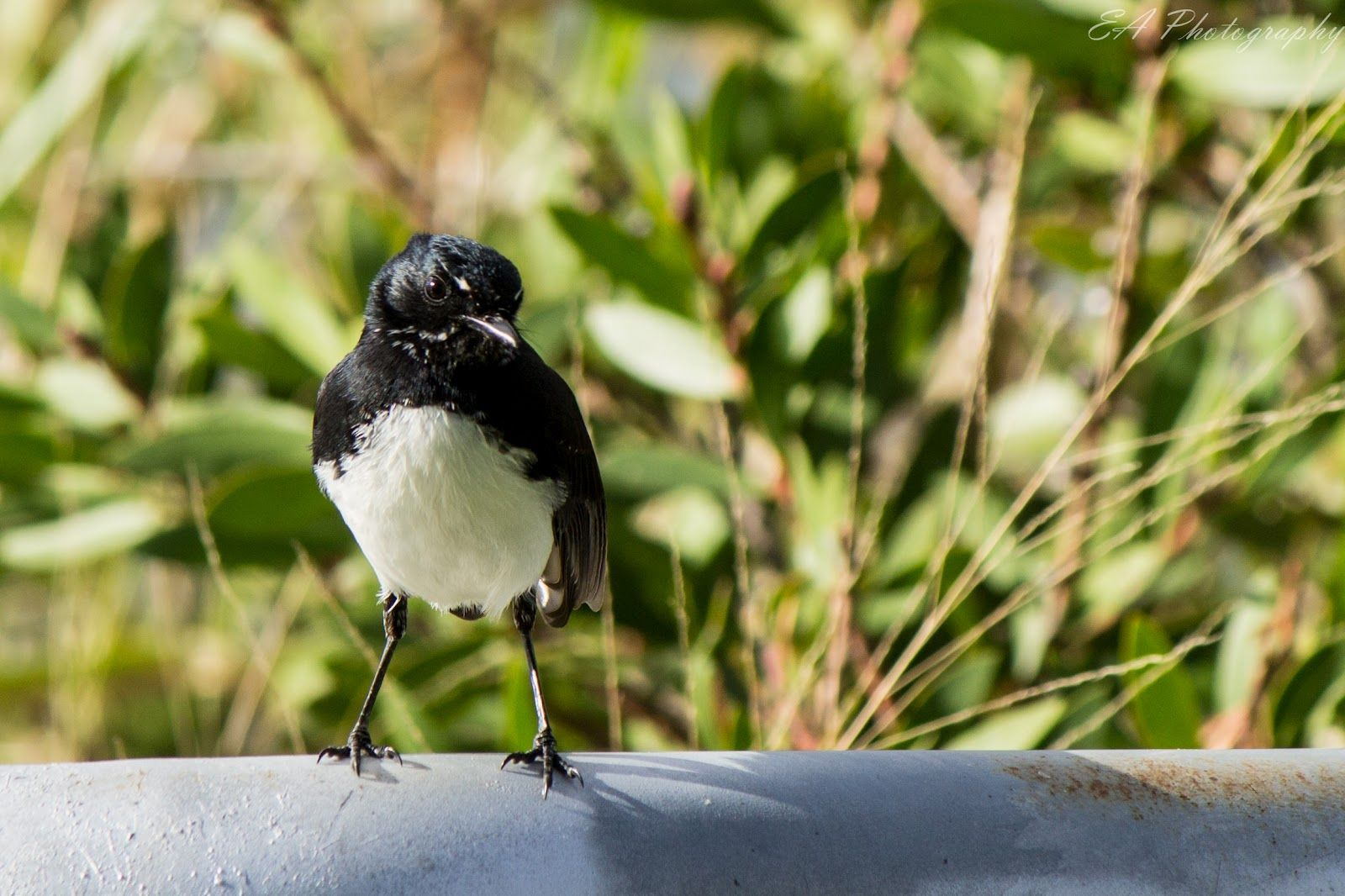 Willy Wagtail   - captured by Liz Denehy SB ©EA Photography/Australia