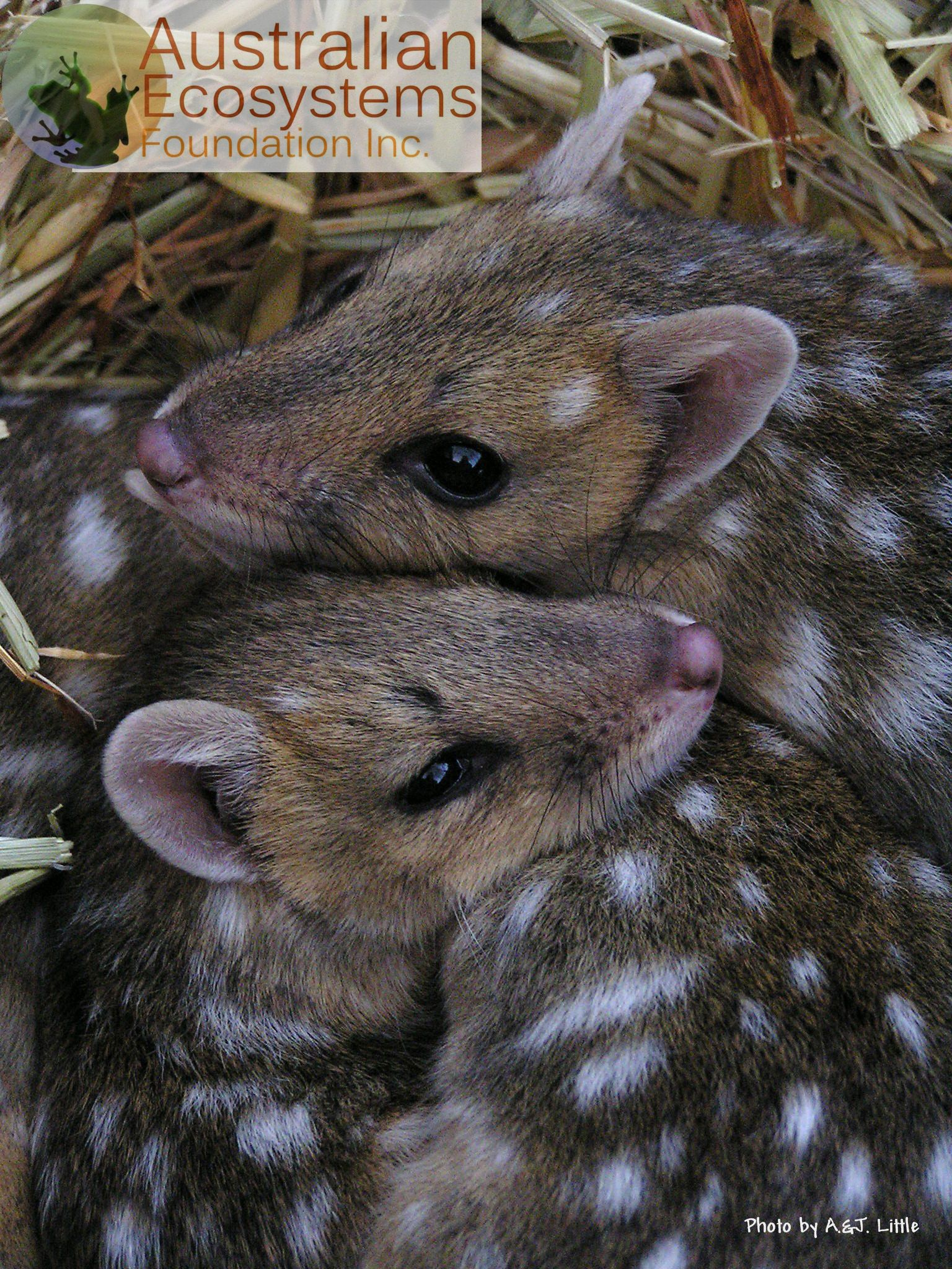 Quoll, a small nocturnal carnivorous marsupial. Once they
