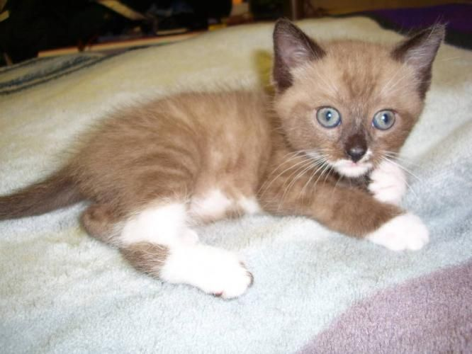 sweeeeet Snowshoe/Siamese kitten Baby cats, Kittens and