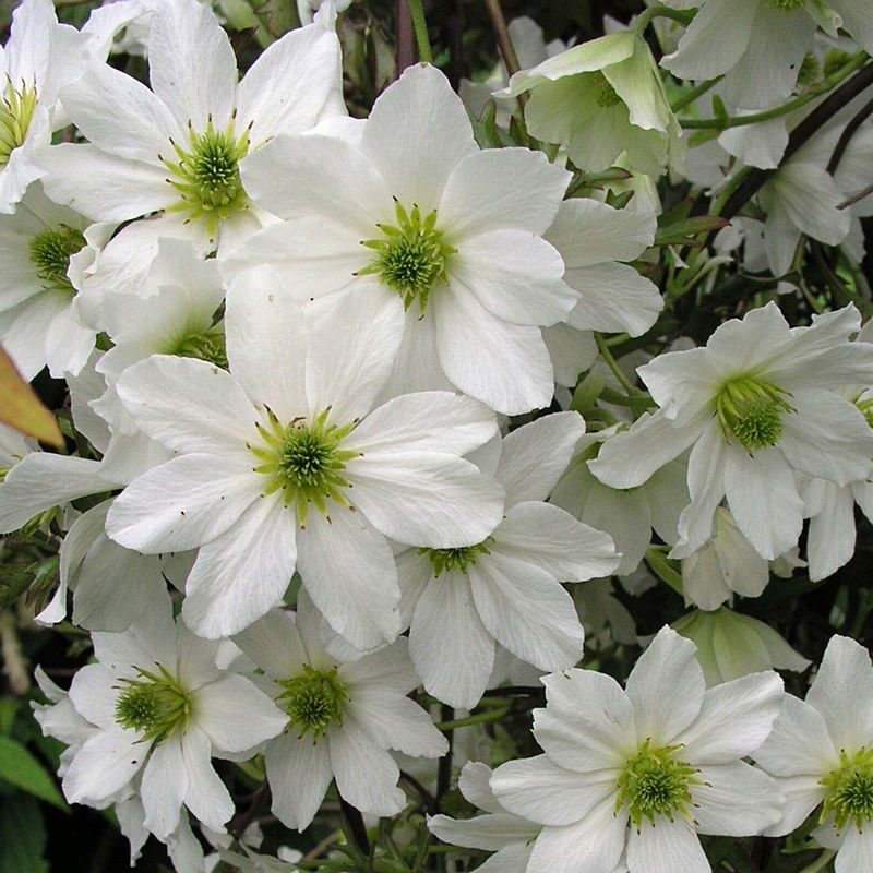 clematis x cartmanii 39 avalanche 39 evergreen not hardy. Black Bedroom Furniture Sets. Home Design Ideas