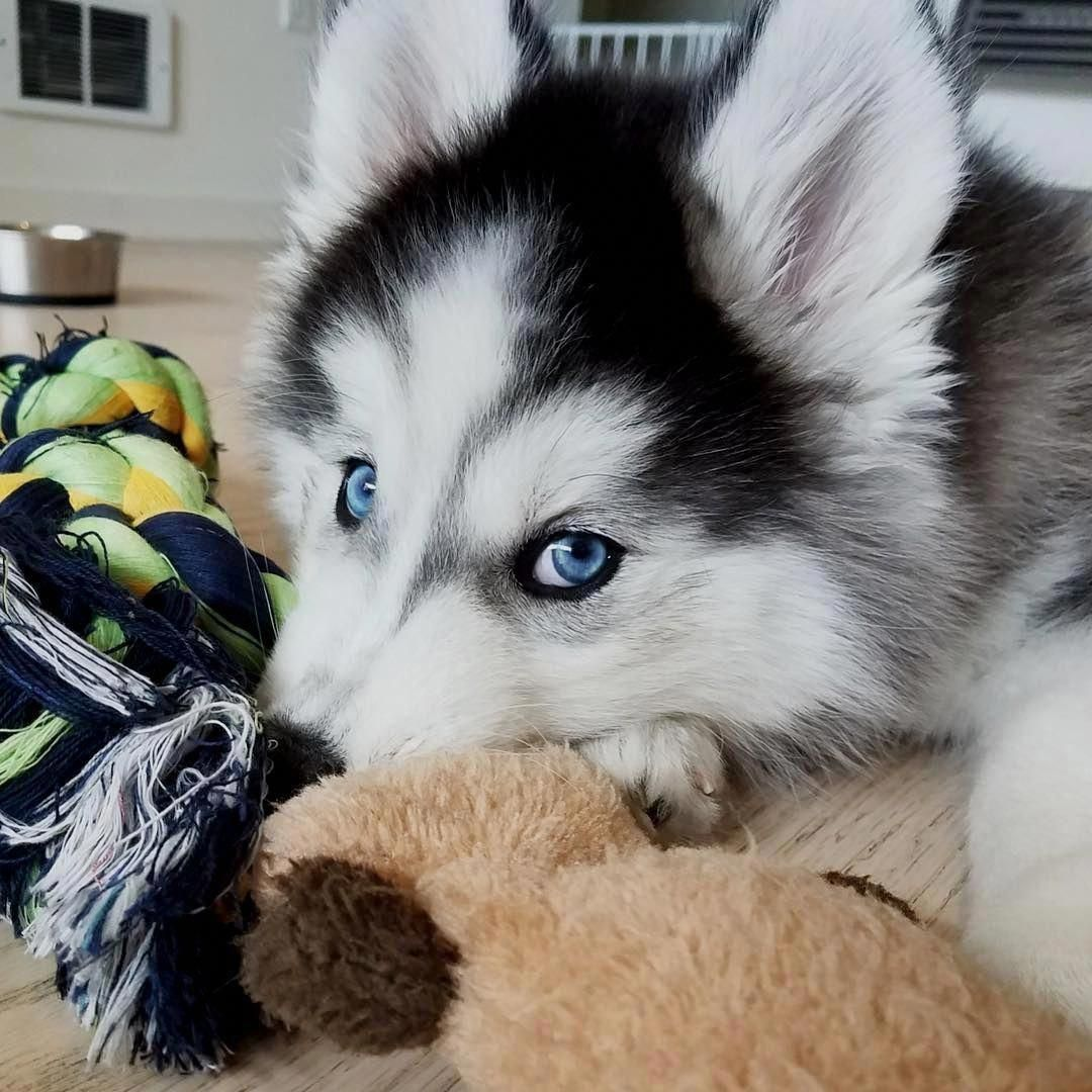 Figure Out Even More Details On Siberian Husky Puppies Browse