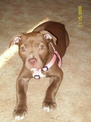 Chocolate Red Nose Pitbull Red Nose Pitbull Pitbull Terrier Pitbull Puppies