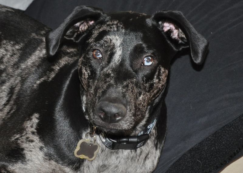 Ose 9 months Catahoulas n pups Pup, 9th month, Dogs