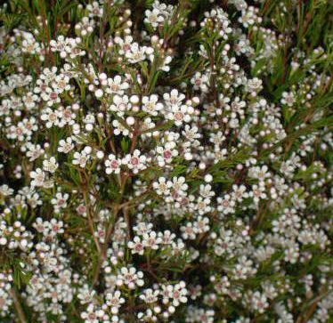 6a010535b05631970c0120a8b97db6970b pi 374363 pixels backyards wax flower buy fresh white waxflower for wedding mightylinksfo Choice Image