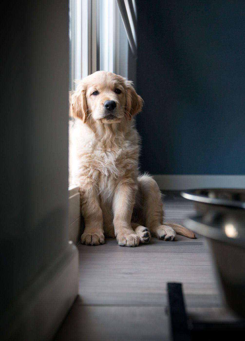 Doran Such A Pretty Golden Aprettypuppy Puppies Retriever Puppy