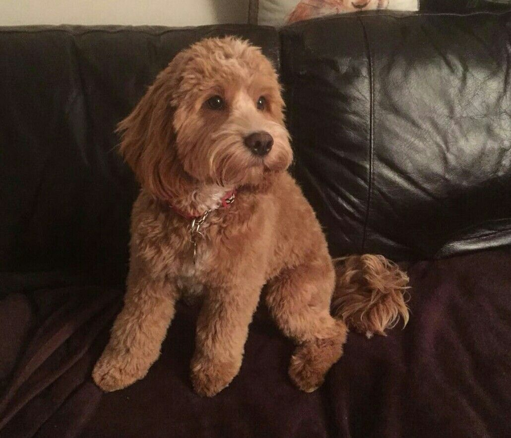 My Arthur 7 Month Old Cockapoo After His First Big Boy Haircut Cockapoo Cockapoo Puppies Cute Dogs