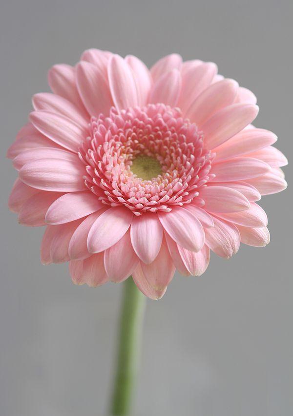 Baef2f4dd3d75d92c169d63266feed28 Pink Gerbera Gerbera Daisies Jpg 600 852 Beautiful Pink Flowers Flowers Pink Flowers