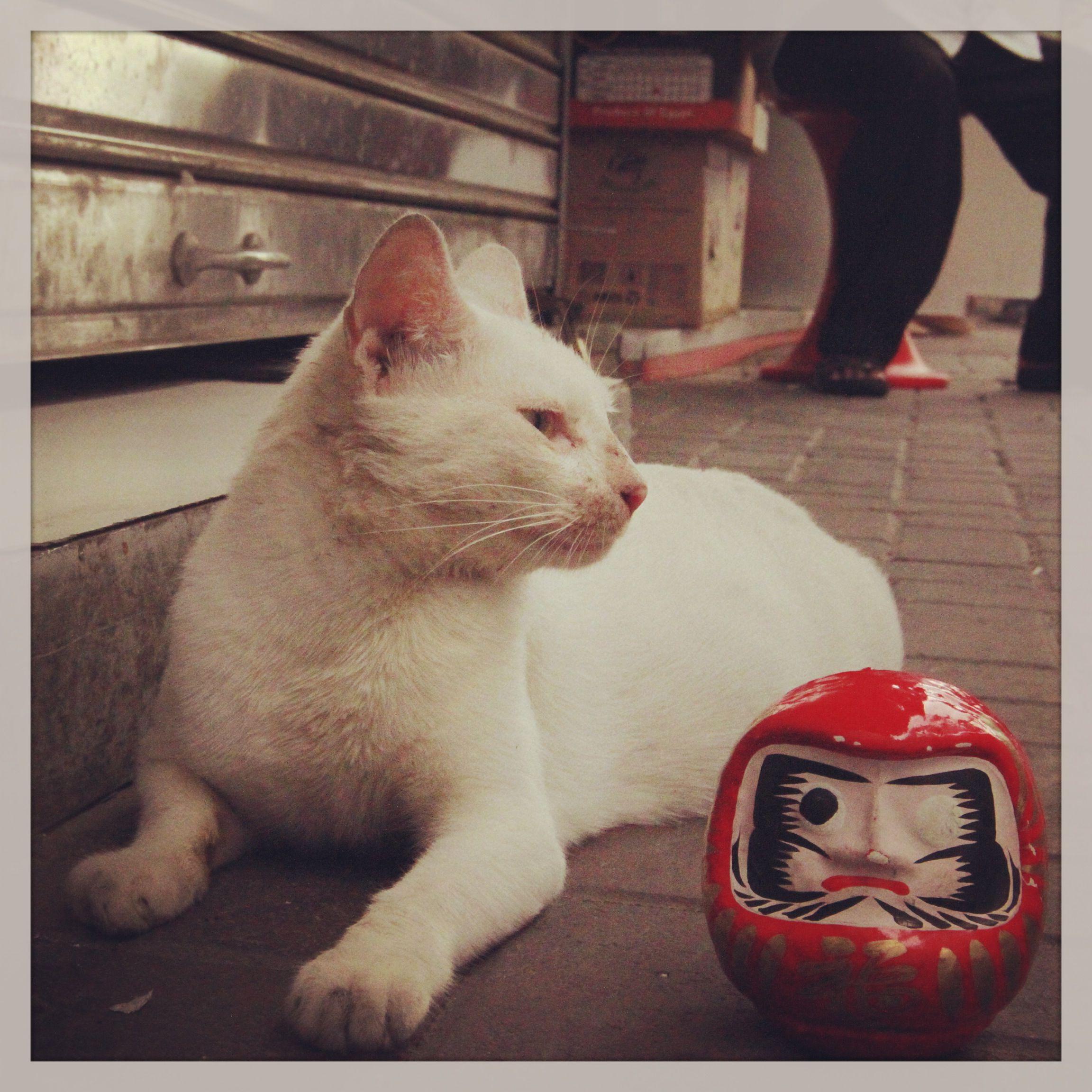 Daruma With Cat Dubai Cats Pet Ownership Animal Nutrition