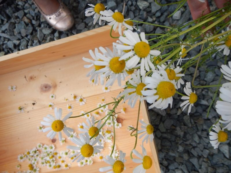 How to grow your own chamomile tea diy herb garden
