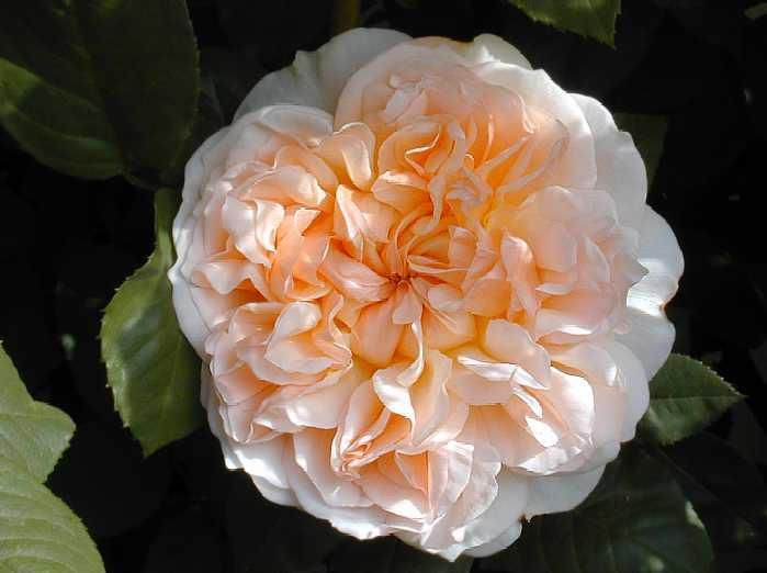 The Most Beautiful Rose In The World   Antique Roses Forum   GardenWeb