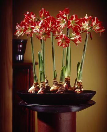 Pintrest Amaryllis   Found on gardening.lohudblogs.com