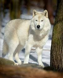 Image result for Albino wolf images