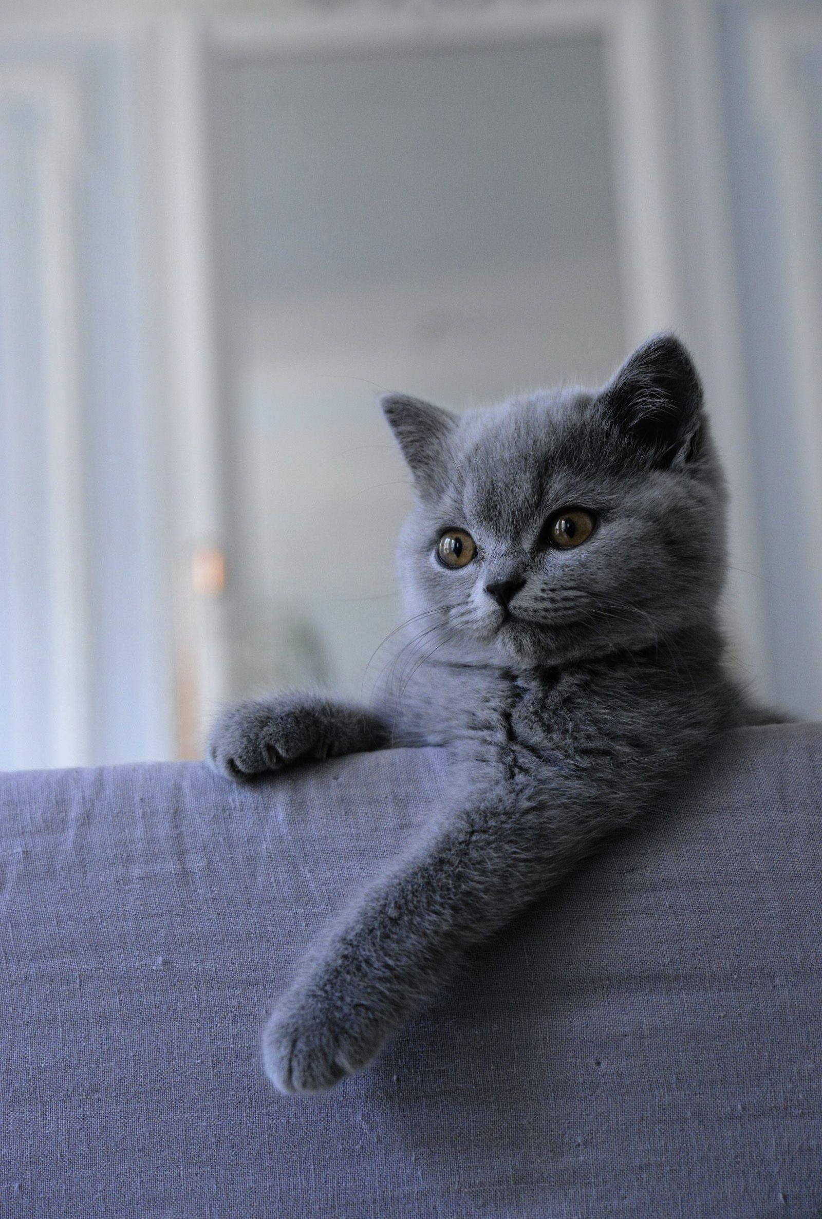 Cats Kittens Older Cat And Kittens Bed British Shorthair Kittens British Shorthair British Shorthair Cats
