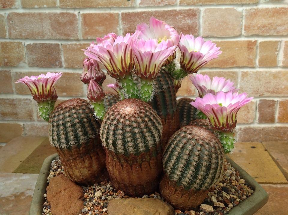 Cactus   個性仙人掌