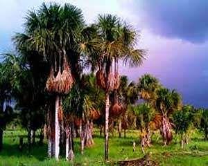 Os vários benefícios do Buriti. Buriti é denominação comum de uma palmeira da família das arecáceas. É também conhecida como coqueiro-buriti, buritizeiro, miriti, muriti, muritim, muruti, palmeira-dos-brejos, carandá-guaçu e carandaí-guaçu...