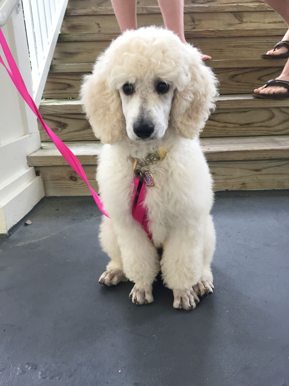 Ivy Pearl My 11 Week Old Standard Poodle I Got Her From Family