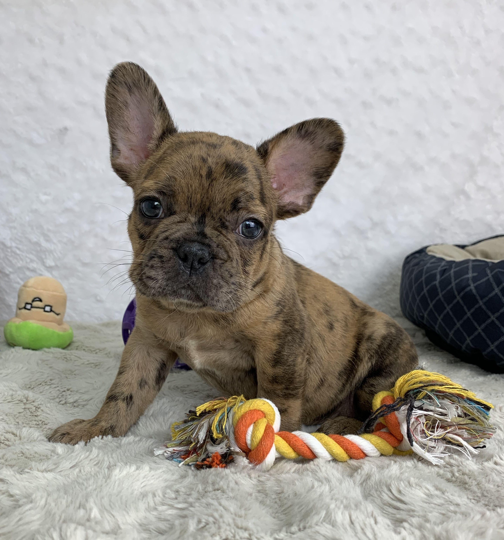 Puppies for Sale Dog breeder, Puppy adoption