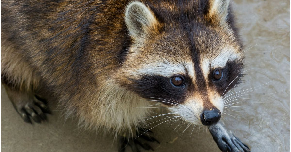 Nuisance Pests Don T Care If They Disrupt Your Life Nor Do They Care If You Have To Spend Thousands Of Dolla Raccoon World Animal Protection Animals