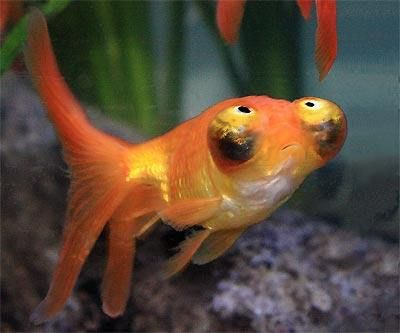 Celestial eye goldfish stargazer goldfish deme ranchu for What fish can live with goldfish