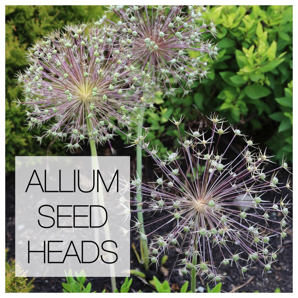 Another Reason To Love Ornamental Alliums Seed Heads Allium Flowers Planting Bulbs Fall Plants