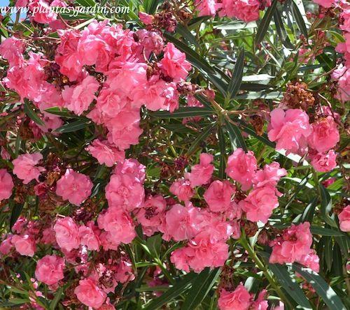 Adelfa de flor doble y color rosa plantas perennes plantas laurel de jardin y plantas jardin - Laurel de jardin ...