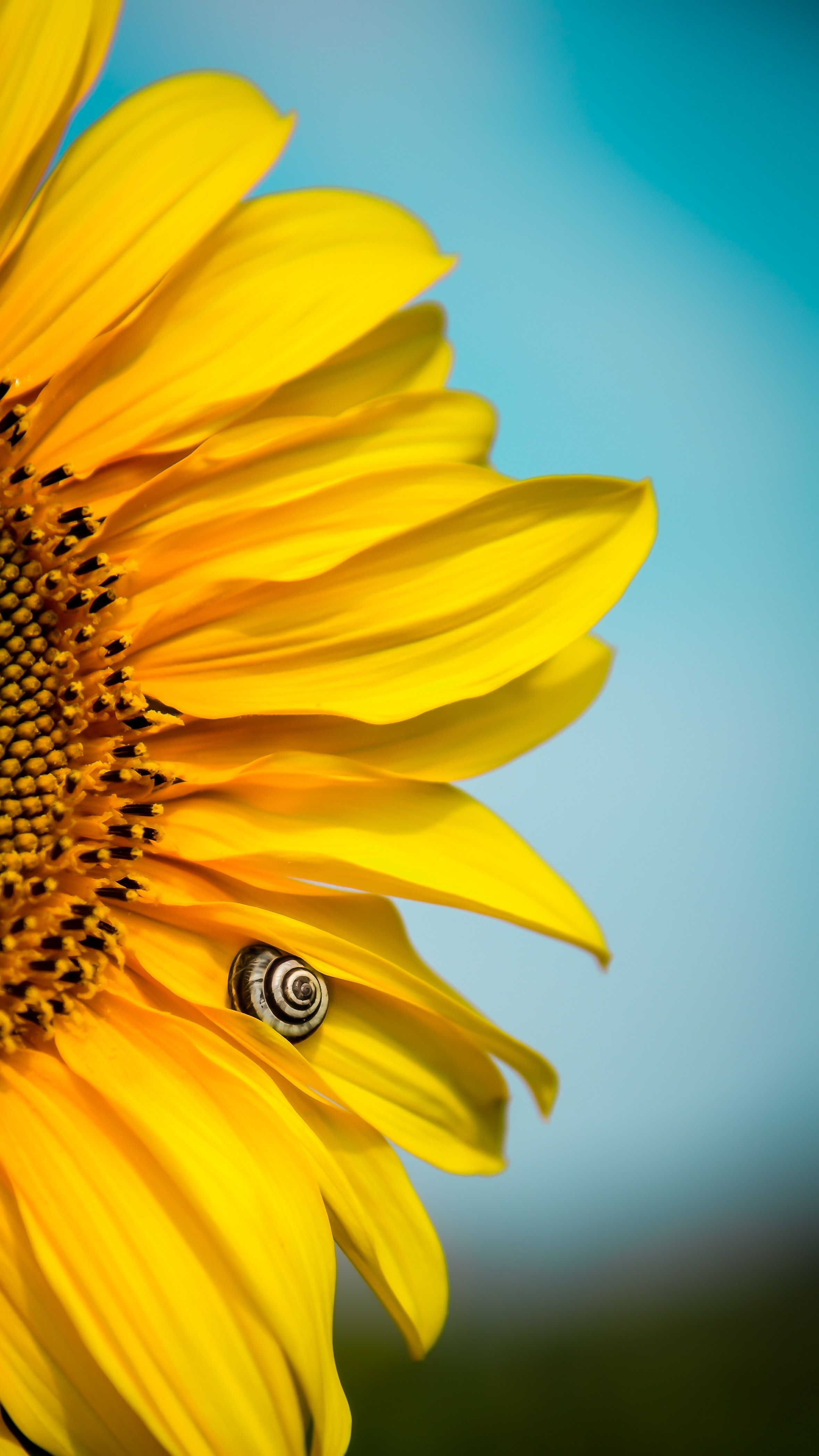 Beautiful Blooming Sunflower Wallpaper Sunflower Wallpaper Sunflower Photography Blooming Sunflower